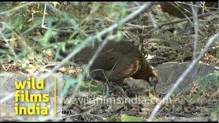 Red Junglefowl female at Bandhavgarh National Park