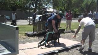 Fun Pull, Treadmill Racing, And Mini Agility Course For Pit Bulls!