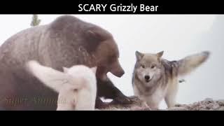 Охота, нападения медведей гризли. Битвы животных.