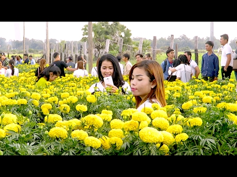 Visit Marigold Flower Plantation in Siem Reap province - Agri Tourism in Cambodia
