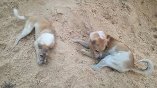 Dogs -  Dogs Playing On The Sand - Dogs Videos - Funny Dogs - Dogs 2020