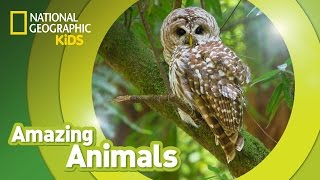 Spotted Owl | Amazing Animals