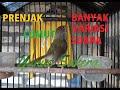 Si Kecil Suara Pedas Prenjak Lumut Gacor Volume  Mp3 - Mp4 Download