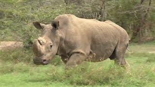 Последний единорог: в Кении умер единственный самец северного белого носорога