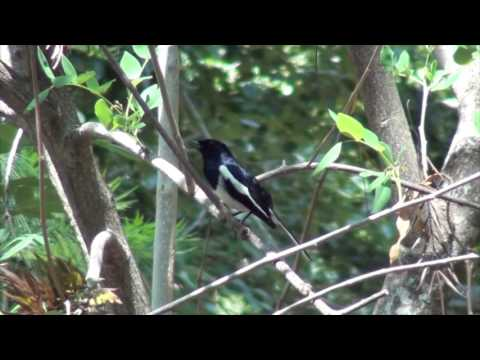 Oriental Magpie Robin- singing at Jungle Retreat Resort, Masinagudi