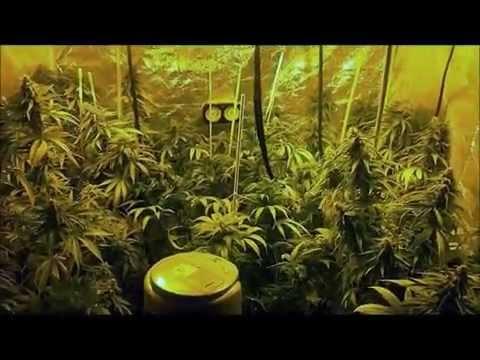 & 400 watt x2 - 4x4 Grow Tent - Flowering cycle - Week 5 - YouTube