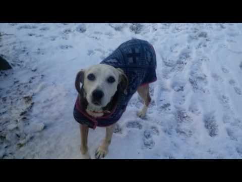 Sadie: 12yr old retired foxhound