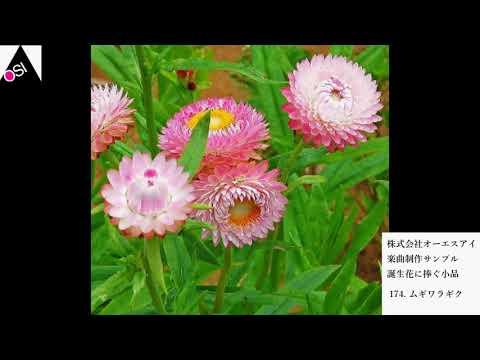 誕生花に捧ぐ小品 174ムギワラギク