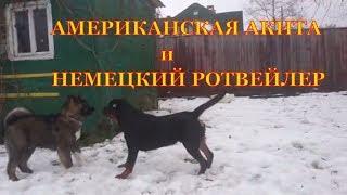 АМЕРИКАНСКАЯ АКИТА и НЕМЕЦКИЙ РОТВЕЙЛЕР.воспитание и дрессировка собаки