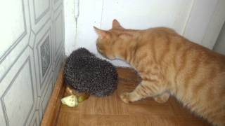 Кот кусает ёжика (Cat biting hedgehog )