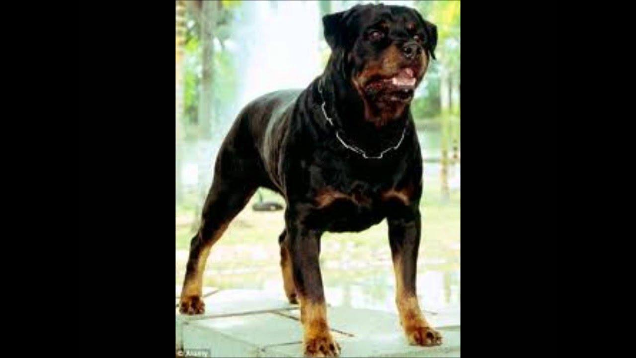 A rottweiler barking
