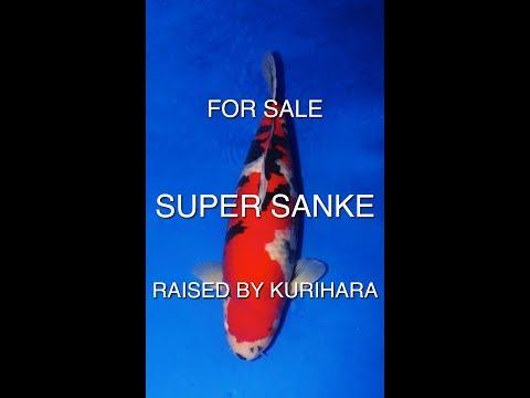 KOI FISH | Super High Quality Sanke by Masai (raised by Kurihara)