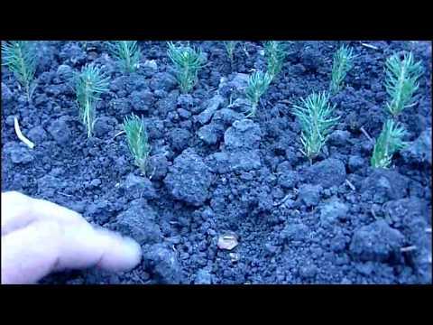 Выращивание ели голубой 2-х летка