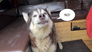 Husky finds out why he was taken to the Vets!
