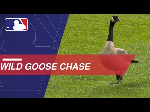 Goose flies into scoreboard at Comerica Park