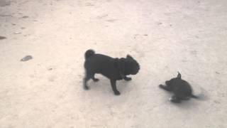 Pug Vs Bully