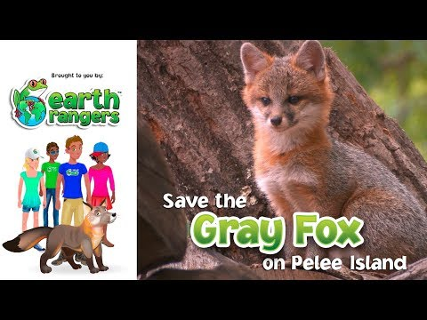 Earth Rangers Bring back the Wild: Save the Gray Fox