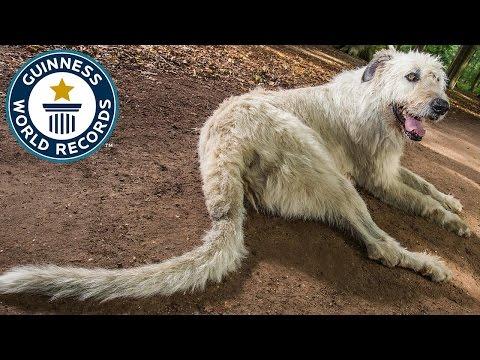 Récord Guinnes: el perro que la tiene más larga que todos