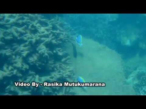 Sri Lanka Marine Fish - 01 (Blue Surgeon Fish)   ශ්රී ලංකාවේ මුහුදු මත්සයෙකු වන මුහුදු නිල් දෙතා