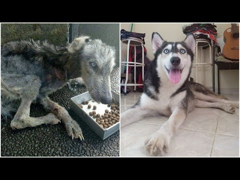 He Found Husky Look Like A Skeleton but after 10 Months She's Unrecognizable