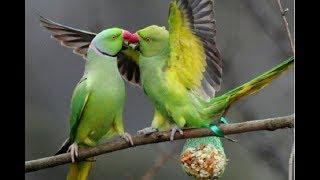 Индийский кольчатый попугай и интересные факты о нем