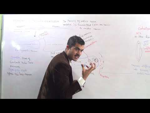 Synapse, Neurotransmission, Centralized And Diffuesd Nervous System In Urdu Hindhi