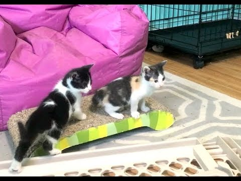 Momma Cat Playing With Her 6 Week Old Kittens - Nursery #28