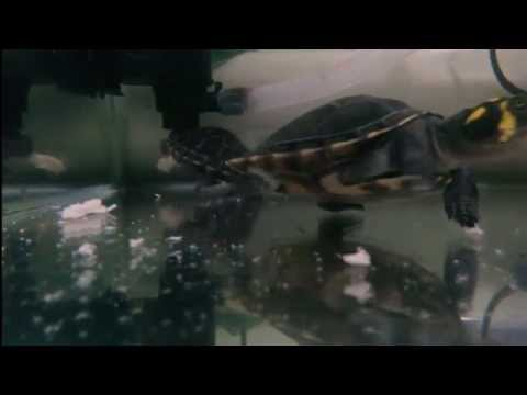 Tortugas trachemys callirostris y podocnemis unifilis alimentándose