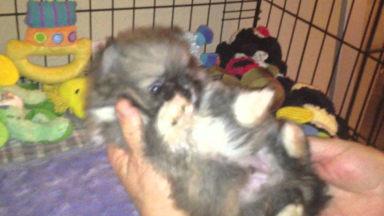 Teacup Pomeranian Puppy Tiny Puppy Puppy For Sale Riverside