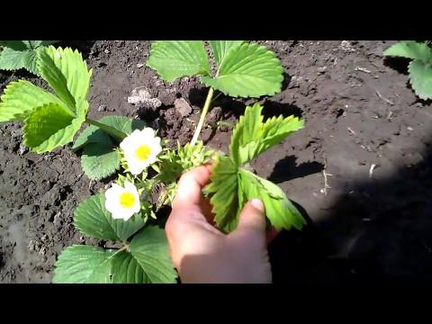 Цветение земляники садовой крупноплодной. Сорта земляники: Флер, Кембридж Фаворит, Джоли и др.