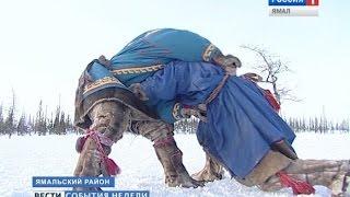 Борьба, как образ жизни. Оленеводы готовятся к самому зрелищному празднику на Ямале