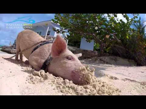 "Rose Island Swimming Pigs ""Can I be close"""
