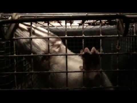 Granjas de visones de España - Reportaje realizado por Igualdad Animal