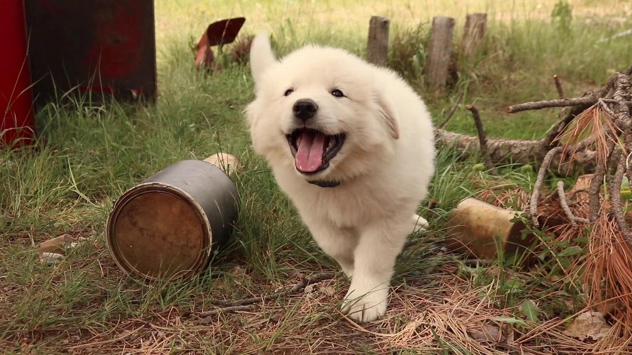 Big Bear Male Colorado Mountain Dog Puppy Youtube