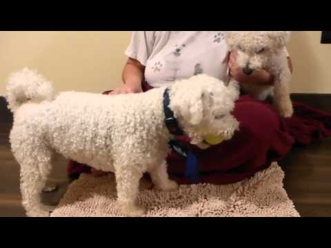 Bichon Frise Dog (s) playing with ball on his Birthday