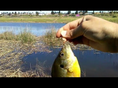Fishing for bluegill youtube for Fresno fishing report 2017