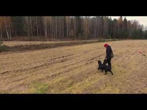 Flatcoated Retriever - Gundog training