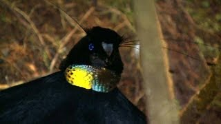Download Video Birds of Paradise, Paradiesvögel, Burung Cendrawasih, Papua, Indonesia MP3 3GP MP4