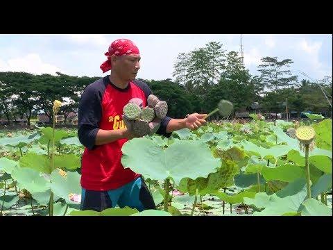 Lotus Sumput, Olahan Biji Bunga Lotus | JEJAK SI GUNDUL (29/11/18) PART 1