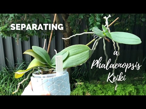 Potting Up A Phalaenopsis Keiki // Separating A Baby Orchid From Its Mother!