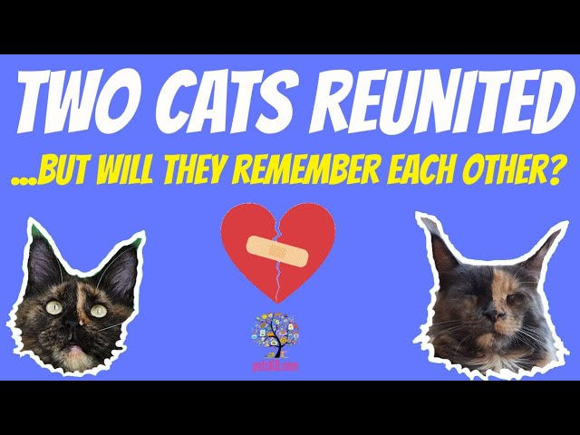 Do cats remember each other? Find out what happened when our Maine Coons were re-introduced!