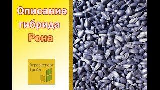 Подсолнечник Рона 🌻, описание гибрида 🌻 - семена в Украине