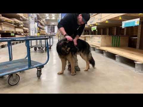 Best Dog Training Toledo, Ohio! 1 Year Old Reactive German Shepherd, Zeke!