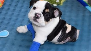 Rescued English Bulldog Born With Half A Body Will Melt Your Heart