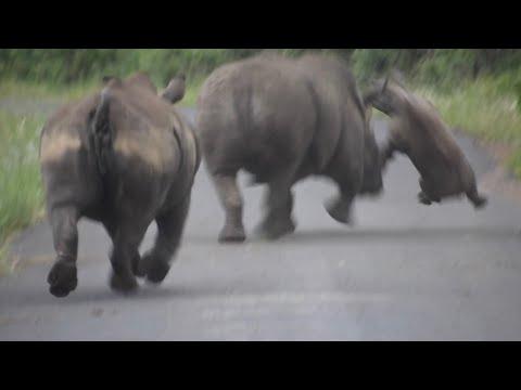 White Rhino Battle: bull attacks mother and calf