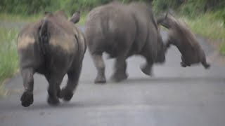 White Rhino Battle: bull attacks mother and calf