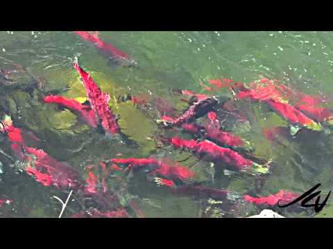 Adams River Sockeye Salmon Run 2010