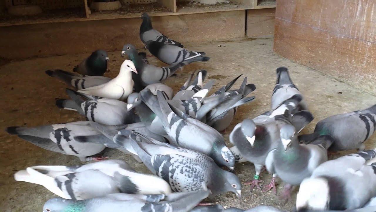 Racing pigeons breeding methods - photo#48