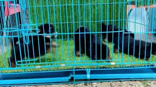 EXOTIC, Premium Tibetan spaniel puppies. Mob  9910504304