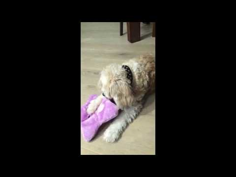 Cavoodle (dogs) boys playing with new toys of the pet sitter